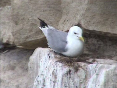 Kittiwake on nest viewed through PTZ camera